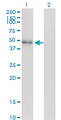 Western Blot analysis of NEUROD2 expression in transfected 293T cell line by NEUROD2 monoclonal antibody (M01), clone 3E7.Lane 1: NEUROD2 transfected lysate(41.3 KDa).Lane 2: Non-transfected lysate.