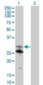 Western blot of NFAM1 in 1) transfected 293T cells and 2) untransfected 293T cells using LS-C148183 at 1:500.