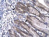 NPAS1 antibody LS-C29678 was used in IHC to stain formalin-fixed, paraffin-embedded human stomach.  This image was taken for the unconjugated form of this product. Other forms have not been tested.