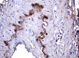 IHC of paraffin-embedded Human pancreas tissue using anti-PARVB mouse monoclonal antibody. (Heat-induced epitope retrieval by 10mM citric buffer, pH6.0, 120°C for 3min).
