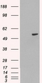 HEK293 overexpressing PAX8A (RC200651) and probed with (mock transfection in first lane).