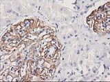 IHC of paraffin-embedded Human Kidney tissue using anti-PDLIM2 mouse monoclonal antibody.