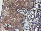 IHC of paraffin-embedded Human tonsil using anti-PDRG1 mouse monoclonal antibody. (Heat-induced epitope retrieval by 10mM citric buffer, pH6.0, 100C for 10min).