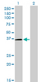 Western Blot analysis of POU6F1 expression in transfected 293T cell line by POU6F1 monoclonal antibody (M01), clone 6H1.Lane 1: POU6F1 transfected lysate(32.6 KDa).Lane 2: Non-transfected lysate.