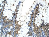PPIA / Cyclophilin A antibody LS-C81638 was used in IHC to stain formalin-fixed, paraffin-embedded human intestine.  This image was taken for the unconjugated form of this product. Other forms have not been tested.