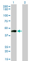 Western blot of PTGIR expression in transfected 293T cell line by PTGIR monoclonal antibody (M01), clone 4B10.