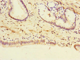 Immunohistochemistry of paraffin-embedded human pancreatic tissue at dilution 1:100