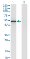 Western blot of RCN2 expression in transfected 293T cell line by RCN2 monoclonal antibody (M02), clone 1A9.