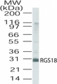 Western blot of RGS18 in human lung lysate using antibody at a dilution of 2 ug/ml.