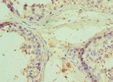 Immunohistochemistry of paraffin-embedded human testicle using antibody at 1:100 dilution.