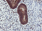IHC of paraffin-embedded Human endometrium tissue using anti-RNPEP mouse monoclonal antibody.