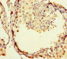 Immunohistochemistry of paraffin-embedded human testis tissue at dilution of 1:100