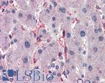 Anti-SIAH1 antibody IHC of human liver. Immunohistochemistry of formalin-fixed, paraffin-embedded tissue after heat-induced antigen retrieval. Antibody LS-B5639 concentration 5 ug/ml.  This image was taken for the unconjugated form of this product. Other forms have not been tested.