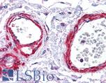 Anti-SIRT5 antibody IHC of human vessels. Immunohistochemistry of formalin-fixed, paraffin-embedded tissue after heat-induced antigen retrieval. Antibody LS-B4584 concentration 5 ug/ml.  This image was taken for the unconjugated form of this product. Other forms have not been tested.
