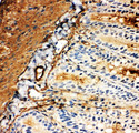 SLC2A5 / GLUT5 antibody. IHC(F): Rat Intestine Tissue.