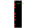 Anti-SLIT-2 Antibody - Western Blot. Western blot of Affinity Purified anti-SLIT-2 antibody shows detection of a band at ~165 kD (lane 1) corresponding to SLIT-2 present in a chicken spinal cord whole cell lysate (arrowhead). Approximately 30 ug of lysate was separated on a 4-20% Tris-Glycine gel by SDS-PAGE and transferred onto nitrocellulose. After blocking the membrane was probed with the primary antibody diluted to 1:1350. Reaction occurred overnight at 4C followed by washes and reaction with a 1:10000 dilution of IRDye800 conjugated Gt-a-Rabbit IgG [H&L] MX ( for 45 min at room temperature (800 nm channel, green). Molecular weight estimation was made by comparison to prestained MW markers in lane M (700 nm channel, red). IRDye800 fluorescence image was captured using the Odyssey Infrared Imaging System developed by LI-COR. IRDye is a trademark of LI-COR, Inc. Other detection systems will yield similar results.