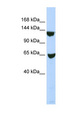 SMARCA1 antibody LS-C110252 Western blot of 293T cell lysate.  This image was taken for the unconjugated form of this product. Other forms have not been tested.