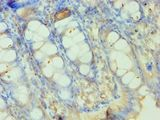 Immunohistochemistry of paraffin-embedded human rectum using antibody at 1:100 dilution.
