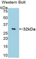 Western blot of recombinant STAMBP / AMSH.  This image was taken for the unconjugated form of this product. Other forms have not been tested.