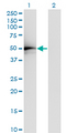 Western Blot analysis of TADA2L expression in transfected 293T cell line by TADA2L monoclonal antibody (M01), clone 4A8-1A7.Lane 1: TADA2L transfected lysate (Predicted MW: 51.5 KDa).Lane 2: Non-transfected lysate.