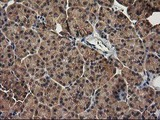 IHC of paraffin-embedded Human pancreas tissue using anti-TBCEL mouse monoclonal antibody.