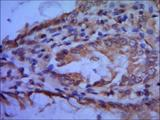 IHC of paraffin-embedded human colon using anti- TFIIB diluted 1/500-1/1000.