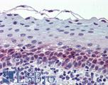 Anti-CEP57 antibody IHC of human tonsil. Immunohistochemistry of formalin-fixed, paraffin-embedded tissue after heat-induced antigen retrieval. Antibody LS-B5984 dilution 1:200.