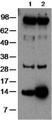 Western Blot of human PBMC cultured without (lane 1) or with (lane 2) dexamethasone (10-7 M) for 3 hr. The membrane was probed with 2 ug/mL anti-mouse/human GILZ (CFMKG15), followed by HRP-conjugated anti-rat IgG.