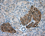 Immunohistochemical staining of paraffin-embedded pancreas tissue using anti-TUBA8 mouse monoclonal antibody. (Dilution 1:50).