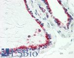 Anti-TUSC2 / PAP antibody IHC staining of human thyroid. Immunohistochemistry of formalin-fixed, paraffin-embedded tissue after heat-induced antigen retrieval. Antibody LS-B9915 dilution 1:100.
