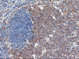IHC of paraffin-embedded Human tonsil using anti-USP10 mouse monoclonal antibody.