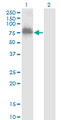 Western Blot analysis of ZNF23 expression in transfected 293T cell line by ZNF23 monoclonal antibody (M02), clone 2D3.Lane 1: ZNF23 transfected lysate (Predicted MW: 73.1 KDa).Lane 2: Non-transfected lysate.