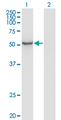 Western Blot analysis of ZNF70 expression in transfected 293T cell line by ZNF70 monoclonal antibody (M01), clone 1D8.Lane 1: ZNF70 transfected lysate (Predicted MW: 50.8 KDa).Lane 2: Non-transfected lysate.
