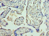AP2B1 Antibody - Immunohistochemistry of paraffin-embedded human placenta using antibody at 1:100 dilution.