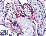 Anti-APH1A antibody IHC of human placenta. Immunohistochemistry of formalin-fixed, paraffin-embedded tissue after heat-induced antigen retrieval. Antibody concentration 5 ug/ml.