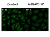 ARFGAP3 Antibody - Immunofluorescence Microscopy of Rabbit Anti-ArfGAP3 Antibody. Tissue: HeLa Whole Cell. Fixation: MeOH. Antigen retrieval: not required. Primary antibody: ArfGAP3 antibody at 1:100 for 1 h at RT. Secondary antibody: Fluorescein rabbit secondary antibody at 1:10,000 for 45 min at RT. Localization: ArfGAP3 is cytoplasmic. Staining: ArfGAP3 as green fluorescent signal.