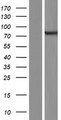 ARHGEF37 Protein - Western validation with an anti-DDK antibody * L: Control HEK293 lysate R: Over-expression lysate