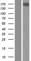 ARHGEF40 / SOLO Protein - Western validation with an anti-DDK antibody * L: Control HEK293 lysate R: Over-expression lysate