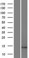 ARL17A Protein - Western validation with an anti-DDK antibody * L: Control HEK293 lysate R: Over-expression lysate