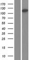 ARMC4 Protein - Western validation with an anti-DDK antibody * L: Control HEK293 lysate R: Over-expression lysate