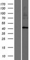 ARRDC2 Protein - Western validation with an anti-DDK antibody * L: Control HEK293 lysate R: Over-expression lysate