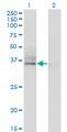 Western Blot analysis of ASGR2 expression in transfected 293T cell line by ASGR2 monoclonal antibody (M05), clone 1D7.Lane 1: ASGR2 transfected lysate (Predicted MW: 32.6 KDa).Lane 2: Non-transfected lysate.
