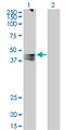 Western Blot analysis of AVPR1A expression in transfected 293T cell line by AVPR1A monoclonal antibody (M07), clone 7B8.Lane 1: AVPR1A transfected lysate(46.8 KDa).Lane 2: Non-transfected lysate.