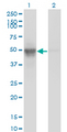 BAF53 / ACTL6A Antibody - Western Blot analysis of ACTL6A expression in transfected 293T cell line by ACTL6A monoclonal antibody (M10), clone 3C4.Lane 1: ACTL6A transfected lysate(47.5 KDa).Lane 2: Non-transfected lysate.