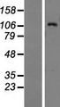 BAIAP3 Protein - Western validation with an anti-DDK antibody * L: Control HEK293 lysate R: Over-expression lysate
