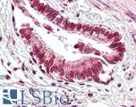 Anti-BECN1 / Beclin-1 antibody IHC of human lung, respiratory epithelium. Immunohistochemistry of formalin-fixed, paraffin-embedded tissue after heat-induced antigen retrieval. Antibody LS-B3202 concentration 5 ug/ml.