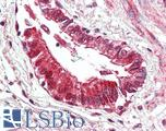 Anti-BECN1 / Beclin-1 antibody IHC of human lung, respiratory epithelium. Immunohistochemistry of formalin-fixed, paraffin-embedded tissue after heat-induced antigen retrieval. Antibody LS-B3203 concentration 5 ug/ml.
