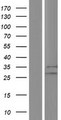BRX / CHIC1 Protein - Western validation with an anti-DDK antibody * L: Control HEK293 lysate R: Over-expression lysate