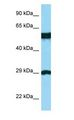 BSPRY antibody Western Blot of THP-1.  This image was taken for the unconjugated form of this product. Other forms have not been tested.