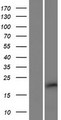 C10orf131 Protein - Western validation with an anti-DDK antibody * L: Control HEK293 lysate R: Over-expression lysate